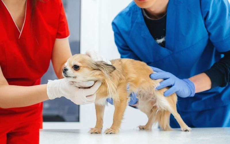 modern veterinary clinic thoroughbred chihuahua examinded | Western Veterinary Annual Conference 2021